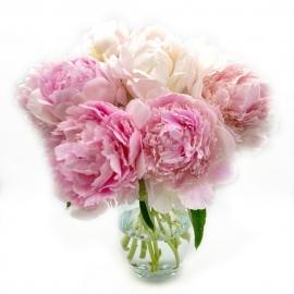 BATUFFOLO DI COTONE: peonie miste toni del rosa