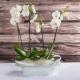 Composizione 2 orchidee bianche