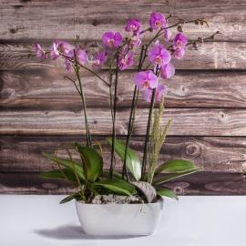 Composizione 2 orchidee viola