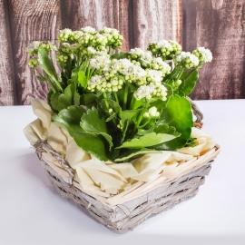 Giardinetto calancole bianche