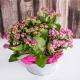 Giardinetto calancole rosa