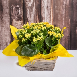 Giardinetto calancole giallo