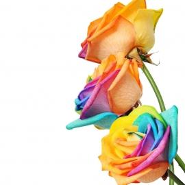 TRE ROSE RAINBOW QUALITÀ EXTRA
