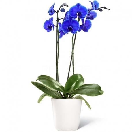Pianta di orchidea blu a due rami con vaso for Orchidea pianta