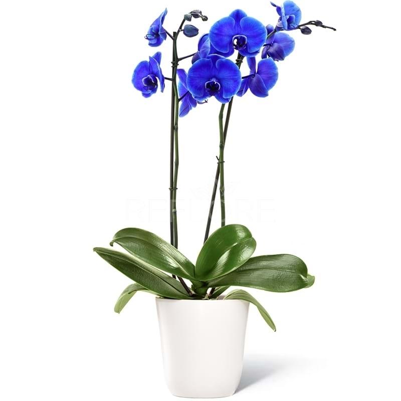 Pianta di orchidea blu a due rami con vaso for Vaso orchidea